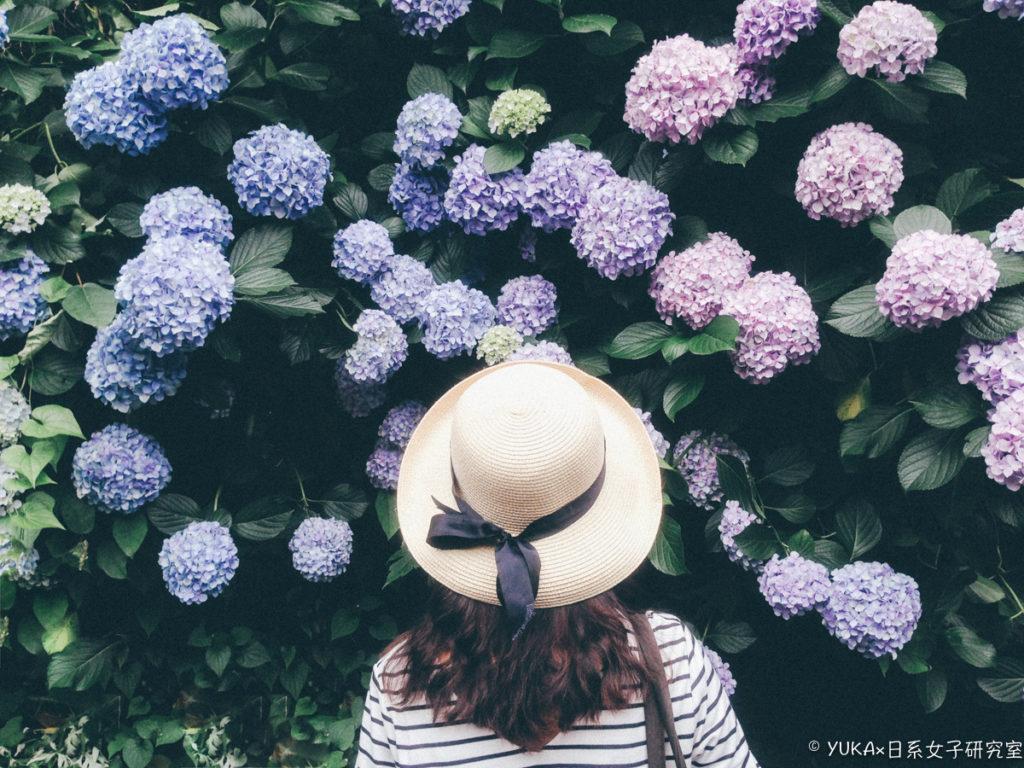 江之島 繡球花-紫陽花