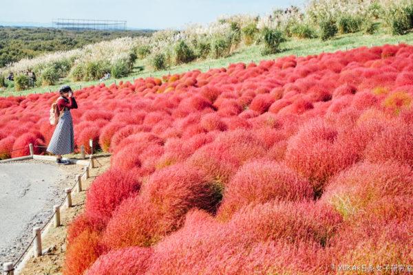 【茨城】茨城一日遊 國營常陸海濱公園(國營日立海濱公園)紅色掃帚草、最美海景日立車站、水戶車站