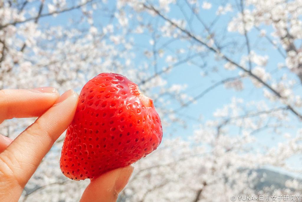 長崎立山公園賞櫻吃草莓