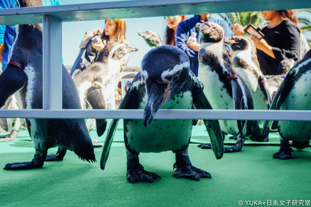 長崎企鵝水族館-企鵝散步時間
