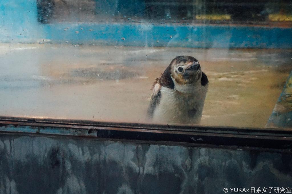 長崎企鵝水族館-南極企鵝